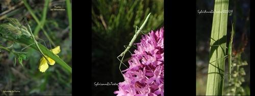 Phasmoptères :le Phasme gaulois,  Clonopsis gallica