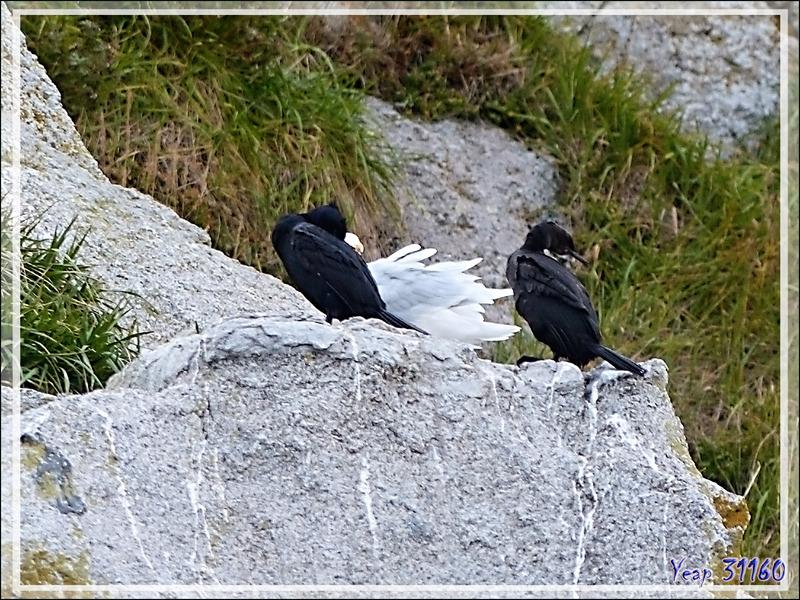Cormoran de Brandt, Brandt's Cormorant (Phalacrocorax penicillatus) - Ukivok - King Island (Ugiuvak) - Détroit de Béring - Alaska