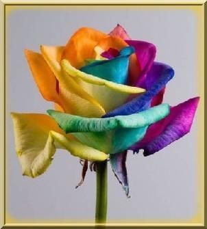 Rose arc en ciel encadrée