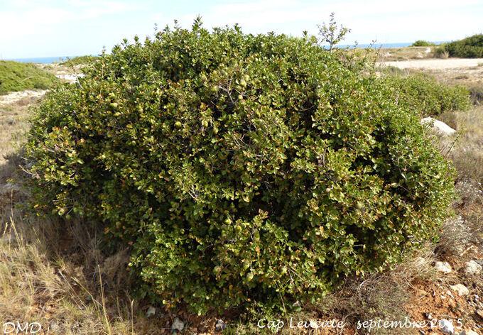Quercus coccifera - chêne kermès