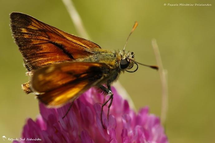 Sylvaine - Ochlodes sylvanus - Hesperiidae