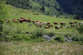 Nos amis les vaches dans l'alpage