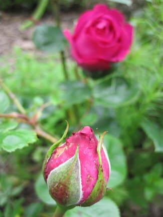 rose pourpre ' Chartreuse de Parme ' de Delbard ( Delviola )