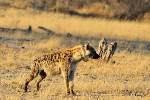 Hyaena captures