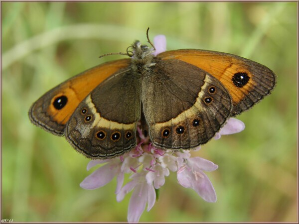 Papillon Amaryllis
