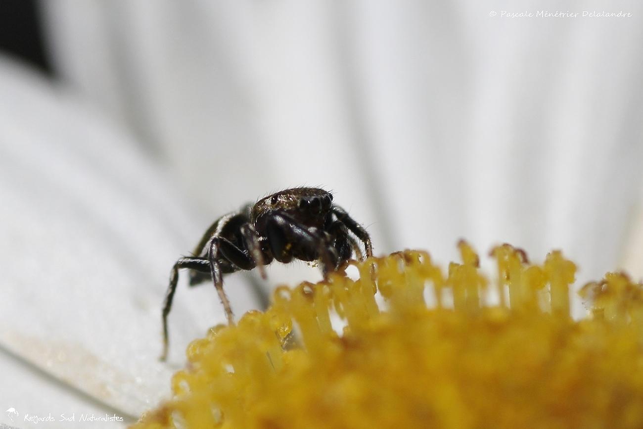 Saltique ♂ (Salticidae) - Araignée sauteuse
