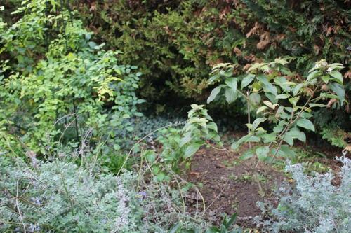 Fausse spirée - Neillia affinis