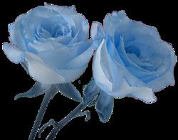 ♥ Rose bleue  ♥