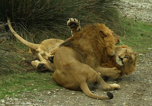 Jeux (et juste des jeux) entre deux jeunes Lions ♂