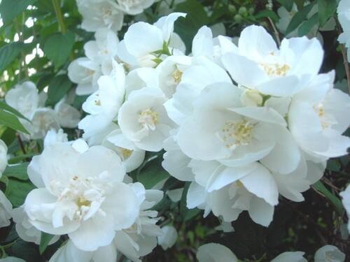 Arbustes du printemps