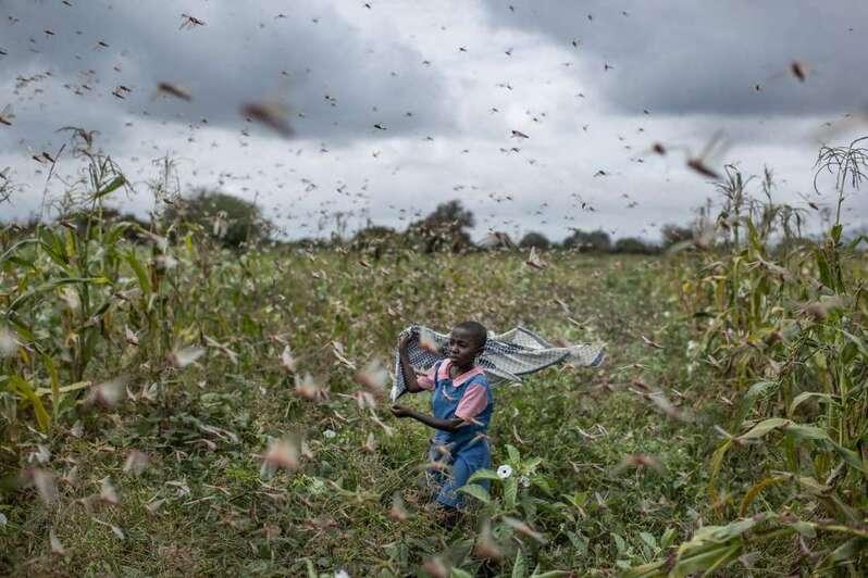 L'Afrique rongée par un invasion de criquets pèlerins