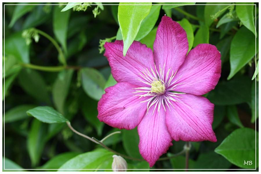 Fleurs----jardin-2664.jpg