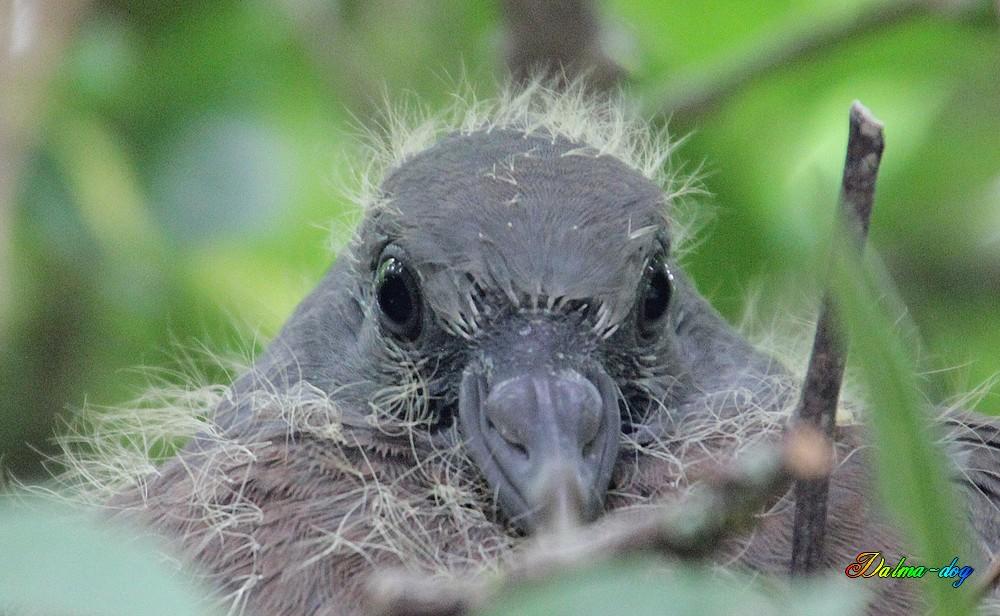 jeune pigeon