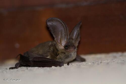 une chauve souris