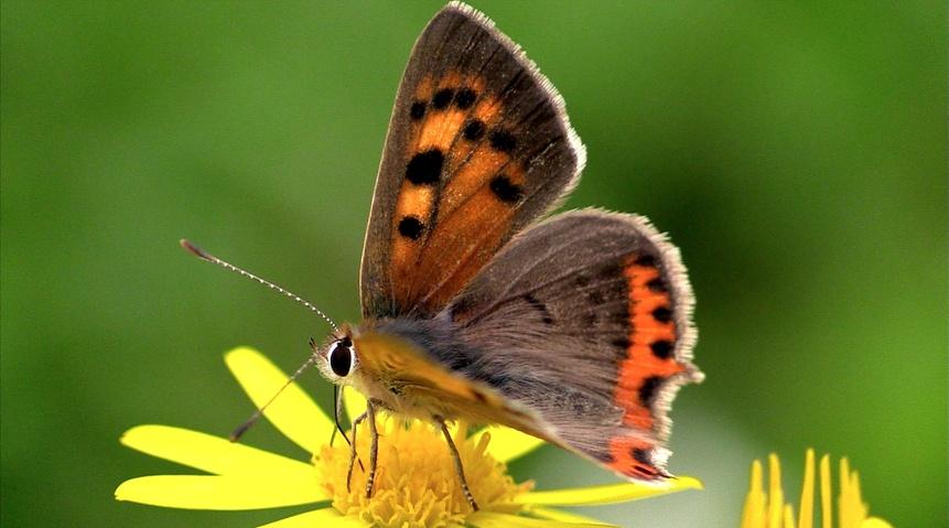 Les papillons de l'été