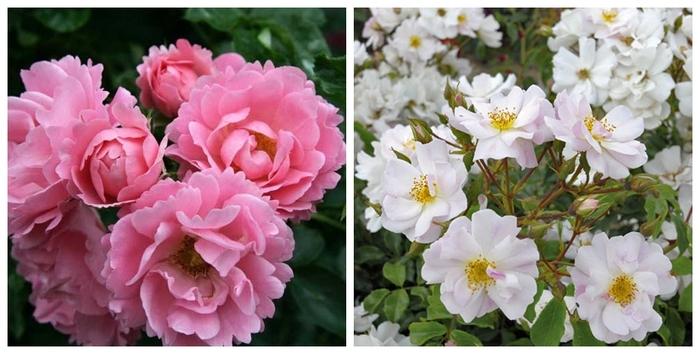 Les nouvelles roses de cet automne 2013 - Partie 1 : L'avant
