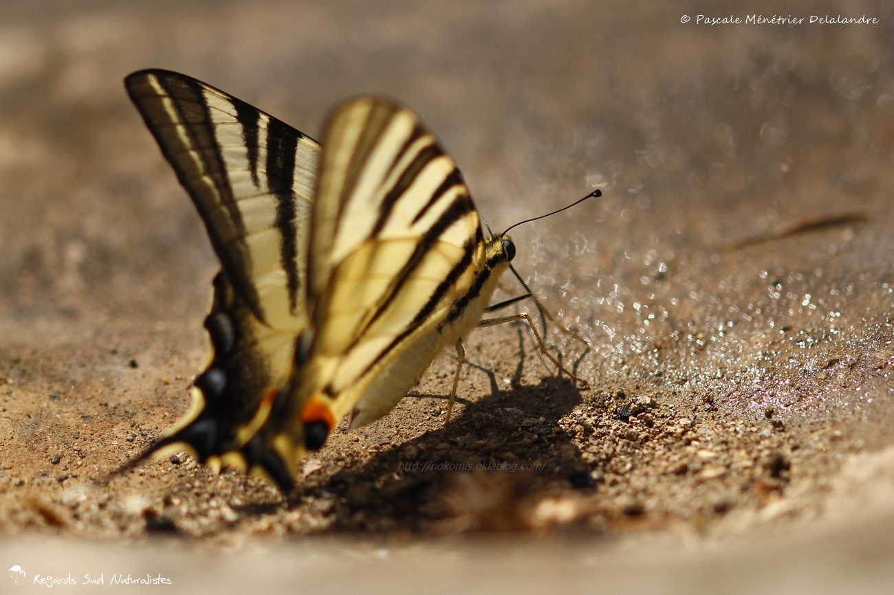 Le Flambé (Iphiclides podalirius) - Papilionidae