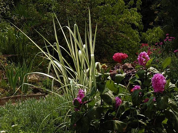 Roses-B-Dahlia-Lavande