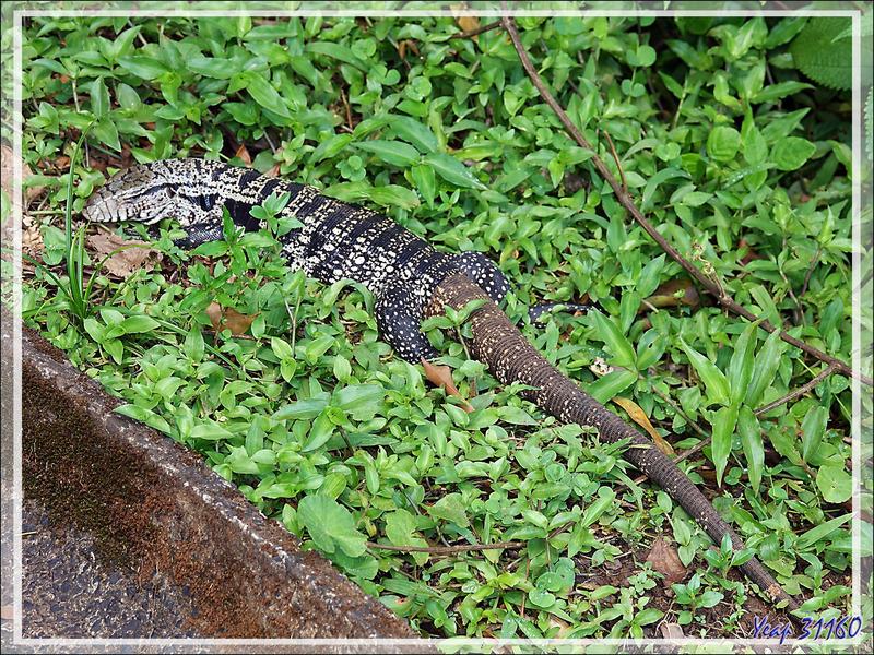 Gros lézards (appelés faussement Varans) Téjus ou Tégus communs (Tupinambis teguixin) - Passerelles de visite des chutes - Foz do Iguaçu - Brésil