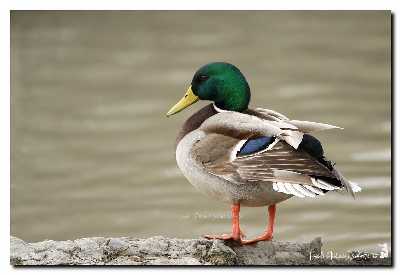 Canard colvert ♂ et ♀