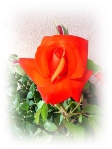 rose au 8 juin 2012