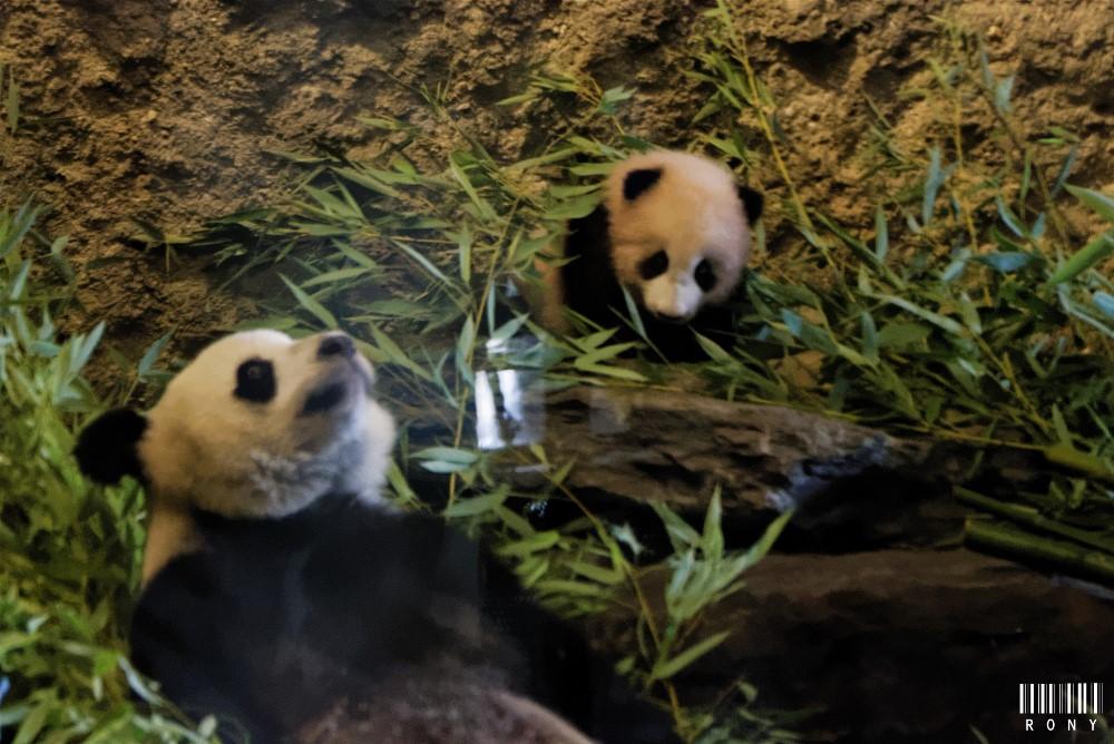 Tian Bao dans les bras de sa maman