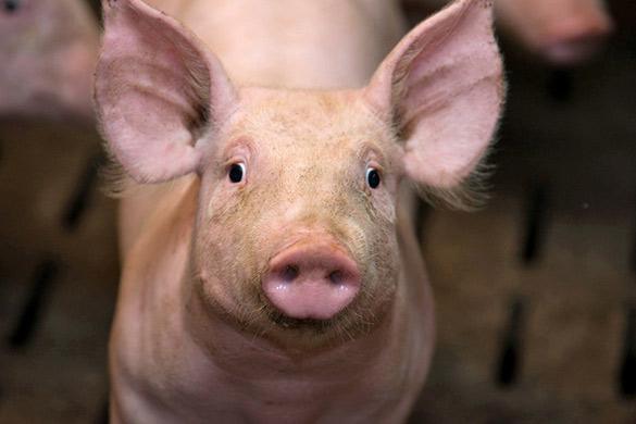 L'élevage intensif des porcs