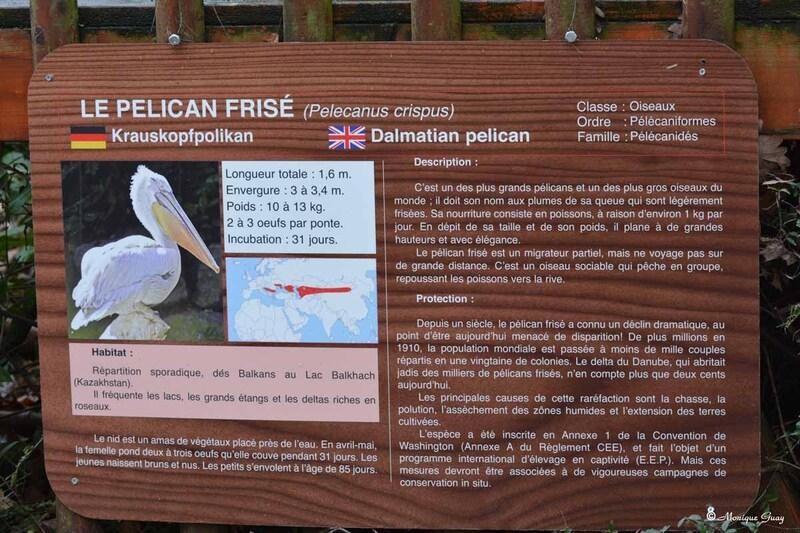 Pélican frisé au zoo d'Amnéville