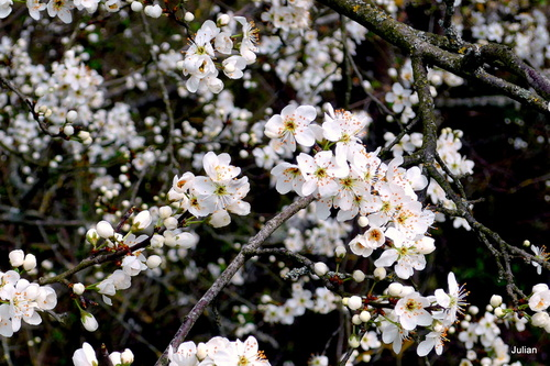 Pruniers sauvages aux fleurs blanches