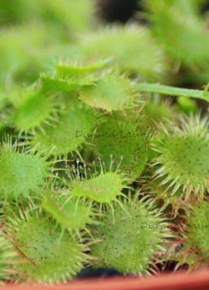 Plante Canivore Drosera Rotundifolia