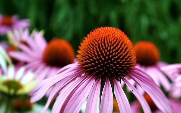 Échinacée echinacea fleur et pétales