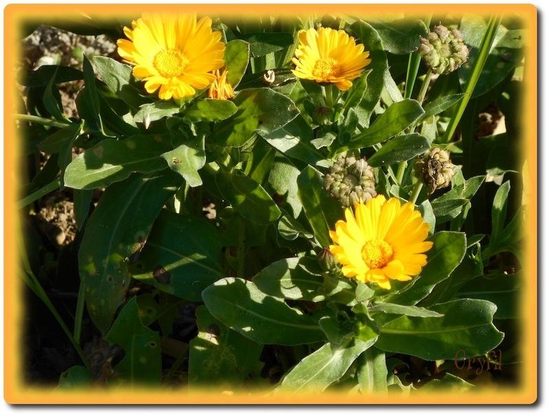 S comme soleil, s comme souci; la fleur !