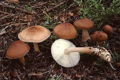 Rhodocollybia butyracea