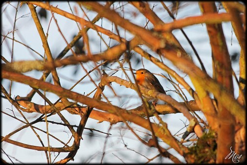 Le rouge-gorge ( Erithacus rubecula )
