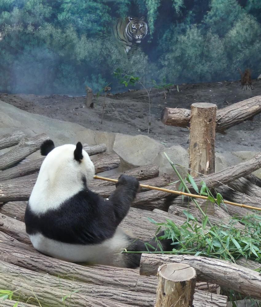 Les pandas géants du Zoo de Beauval...