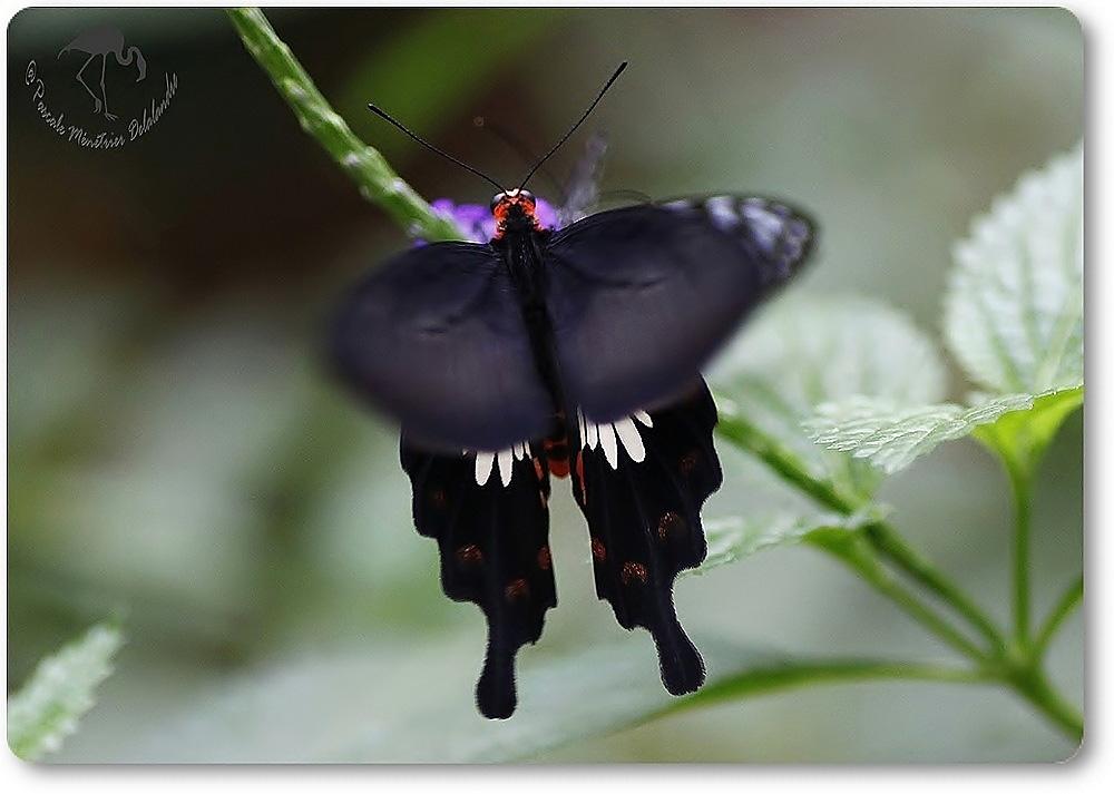 Atrophaneura aristolochiae - Asie du Sud et du sud est - Papilionidae