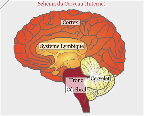 Le  cerveau en quelques chiffres