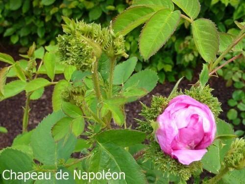 Rosa centifolia 'Cristata' (2)