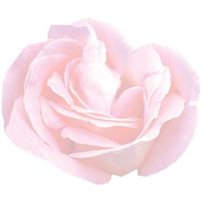 Rose blanche un ptit clin d'oeil
