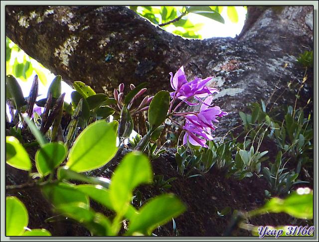 Blog de images-du-pays-des-ours : Images du Pays des Ours (et d'ailleurs ...), Orchidée dans la forêt humide (rain forest) - Rincon de la Vieja - Costa Rica