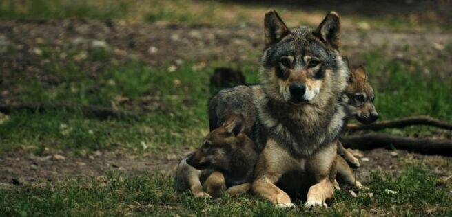 """Résultat de recherche d'images pour """"loups"""""""