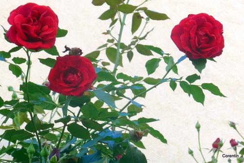 Les jolies roses !