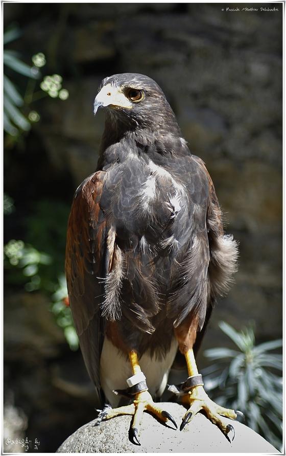 Buse de Harris - Parabuteo unicinctus - Harris's Hawk