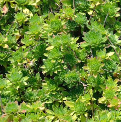 Photo d'androsace laineuse - Androsace lanuginosa