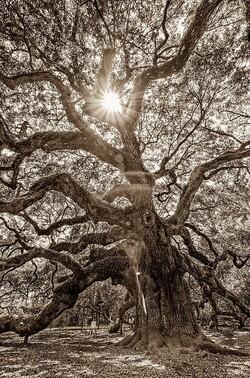 "arbres devenus ""trognes"""