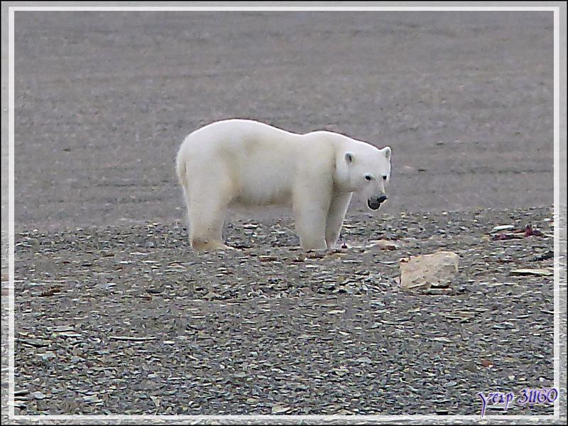 Vers 14 heures, enfin je pars en Zodiac vers l'ours, il n'a pas bougé d'un poil et mange toujours (Polar bear) - Creswell Bay - Somerset Island - Nunavut - Canada