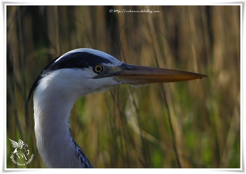 Hérons cendrés - Ardea cinerea - Grey Heron