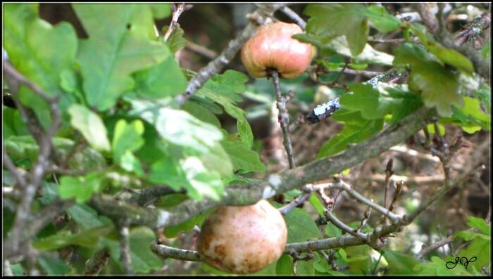 Galle du chêne - Cécidie du chêne.