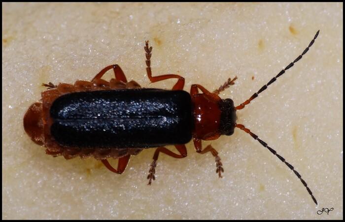 Cantharidae.