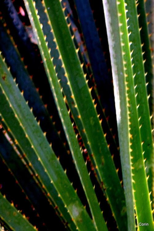 Plantes aux feuilles piquantes ...